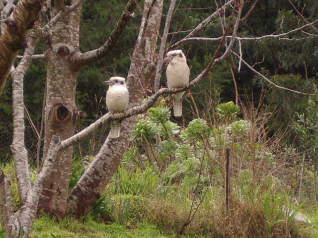 A pair of kookaburras